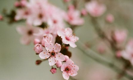 Pink Blossoms in Spring