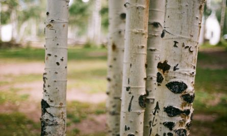 Aspen Trees on Film