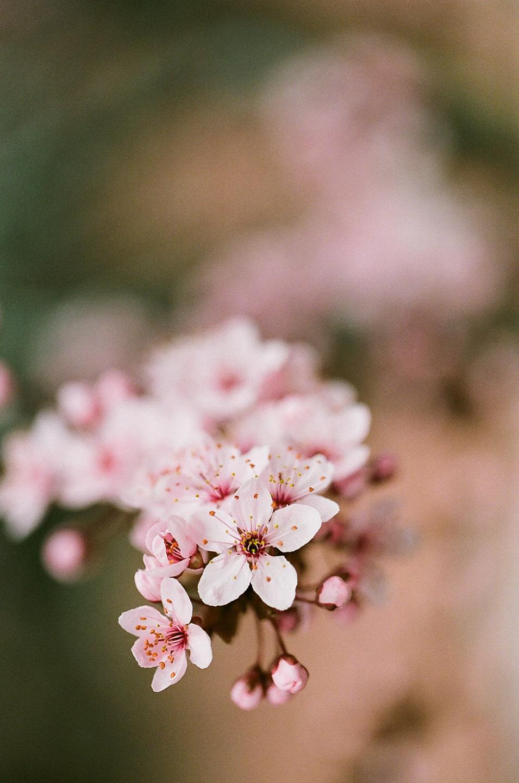 pink cherry blossoms photographed on kodak portra film