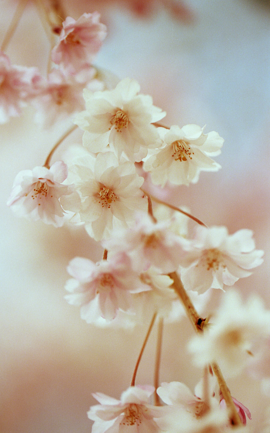 White and pink spring flowers photographed on kodak film