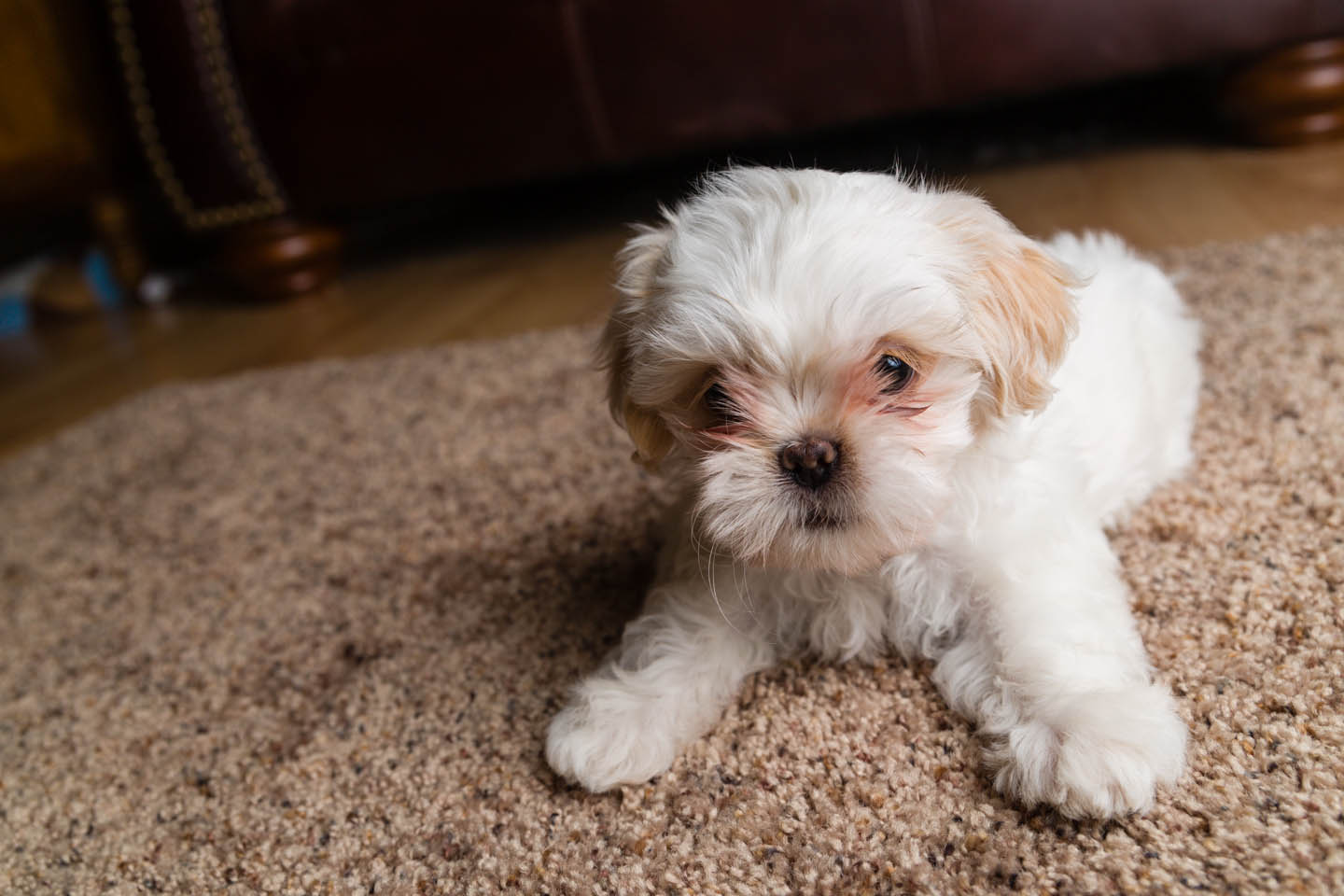 white shih tzu puppy