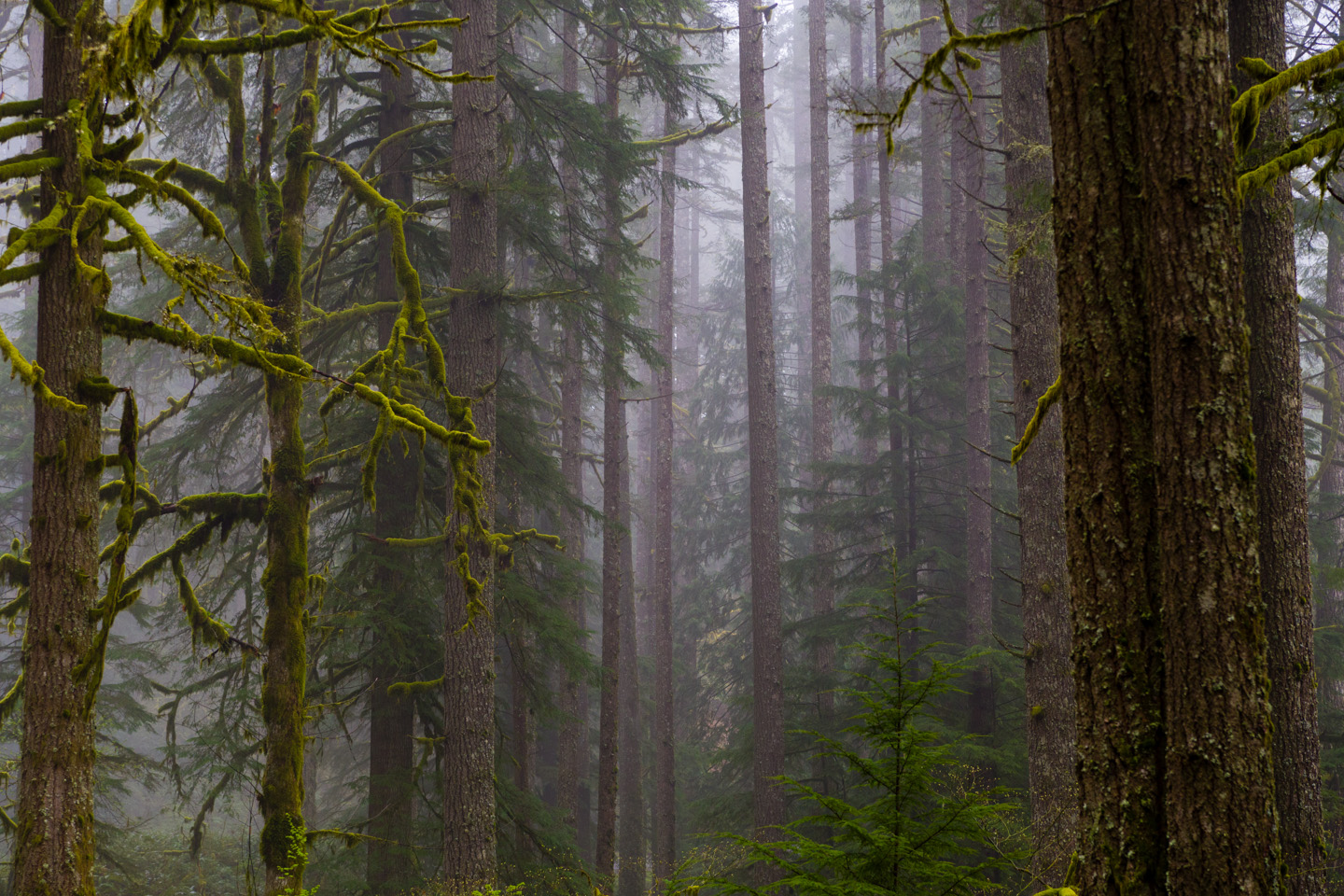 A foggy Oregon Forest