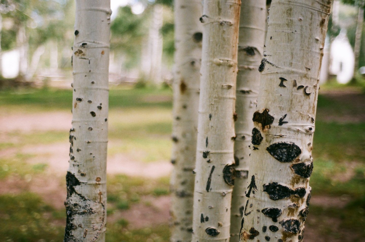 Aspen trees on 35mm Film