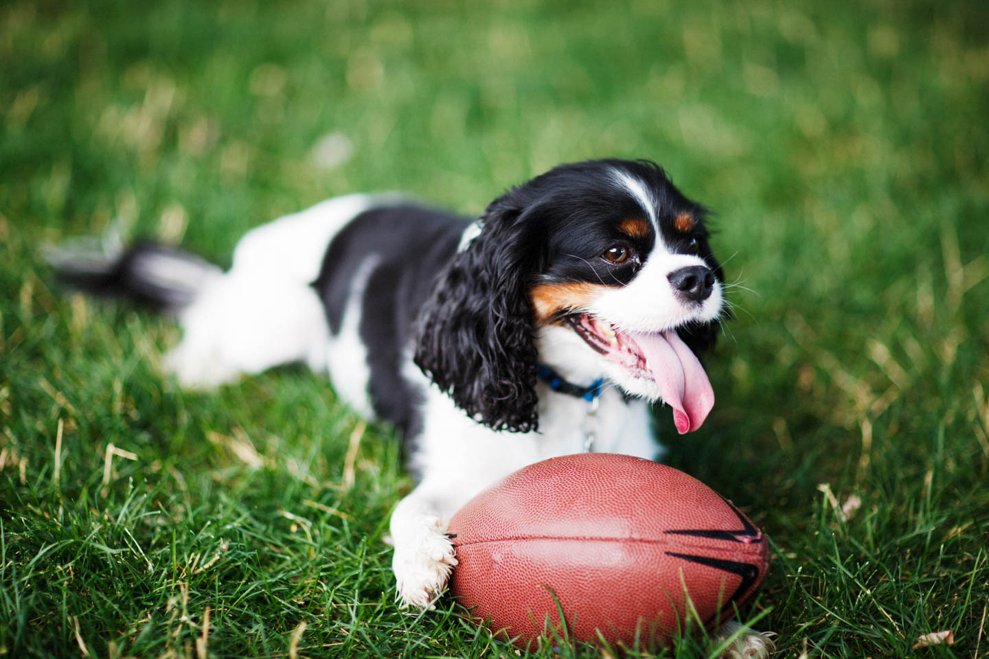 The dog is ready to play football, or fetch