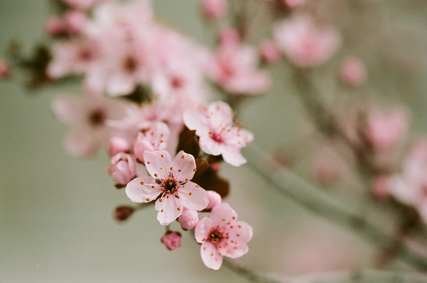 Spring blossoms on 35mm film