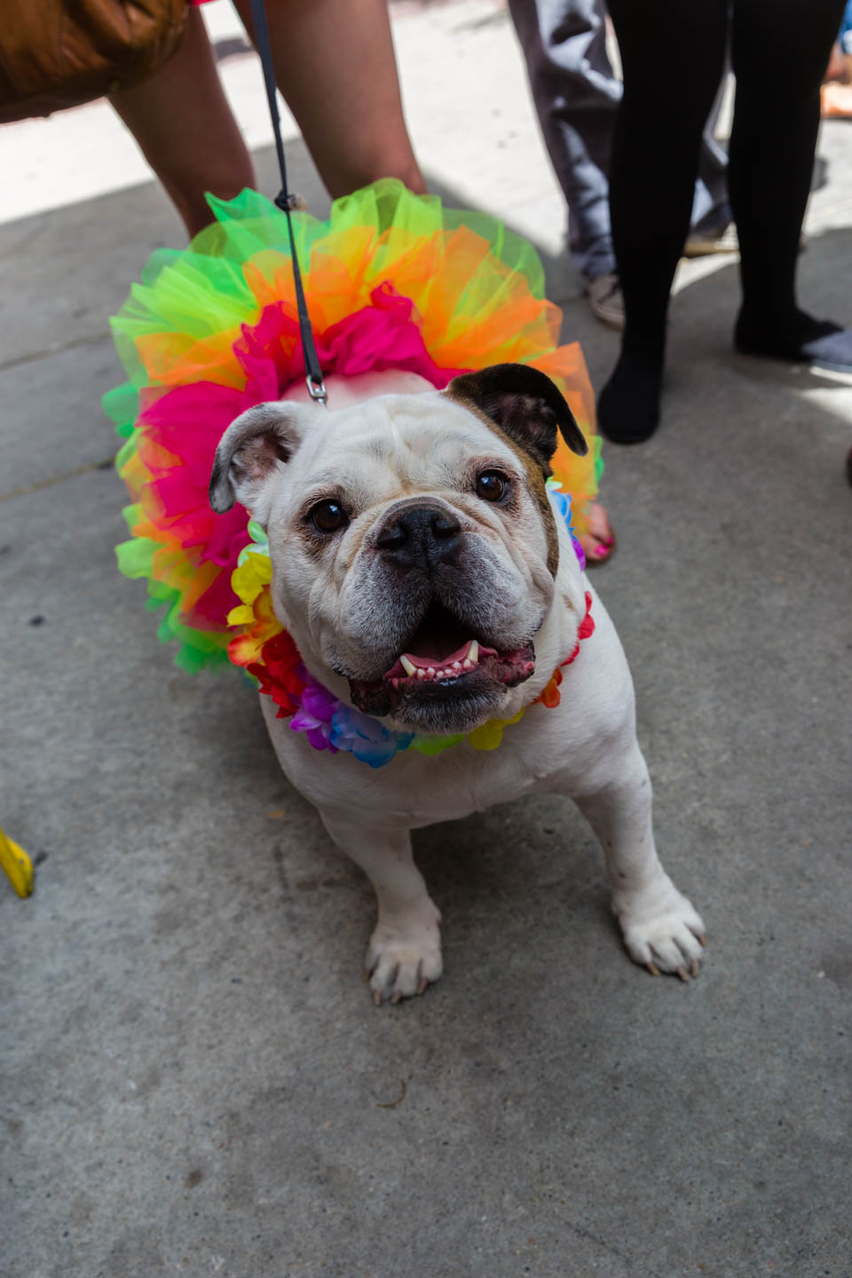 It's the Pride English Bulldog