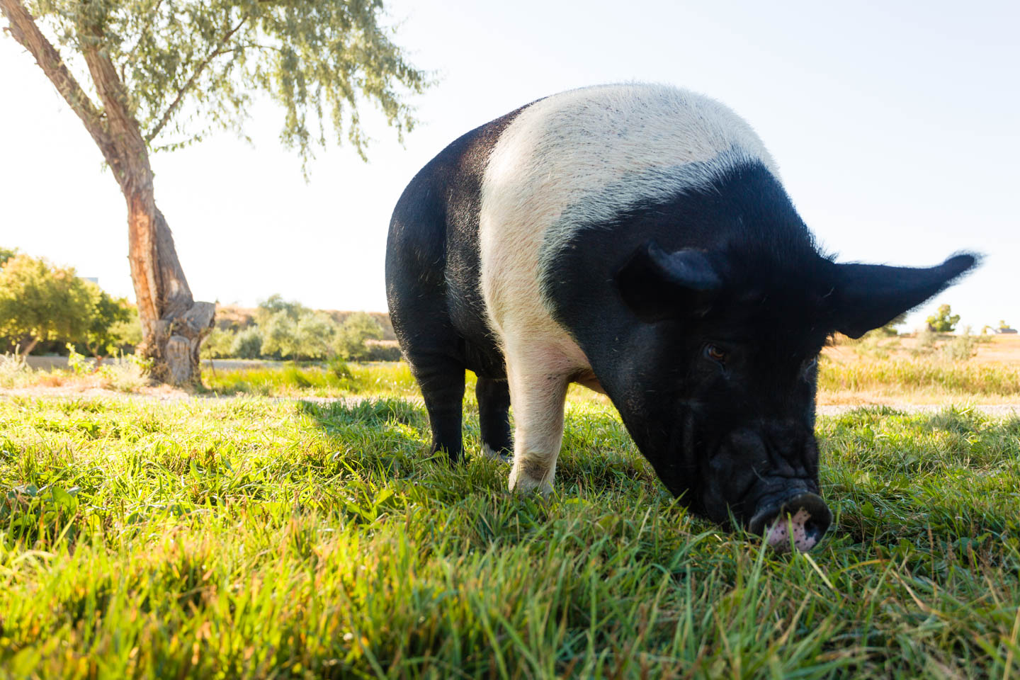 Sally the Pig grazes after her photo shoot