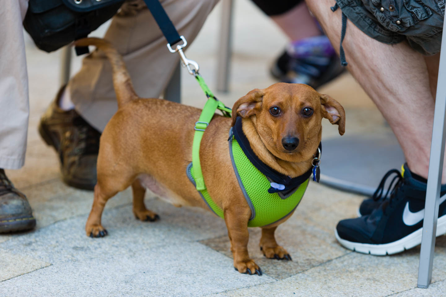 A dachshund sports a green vest for the AIDS Walk