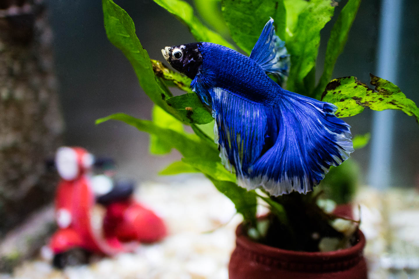 Blue Male Beta Fish named Ciprian