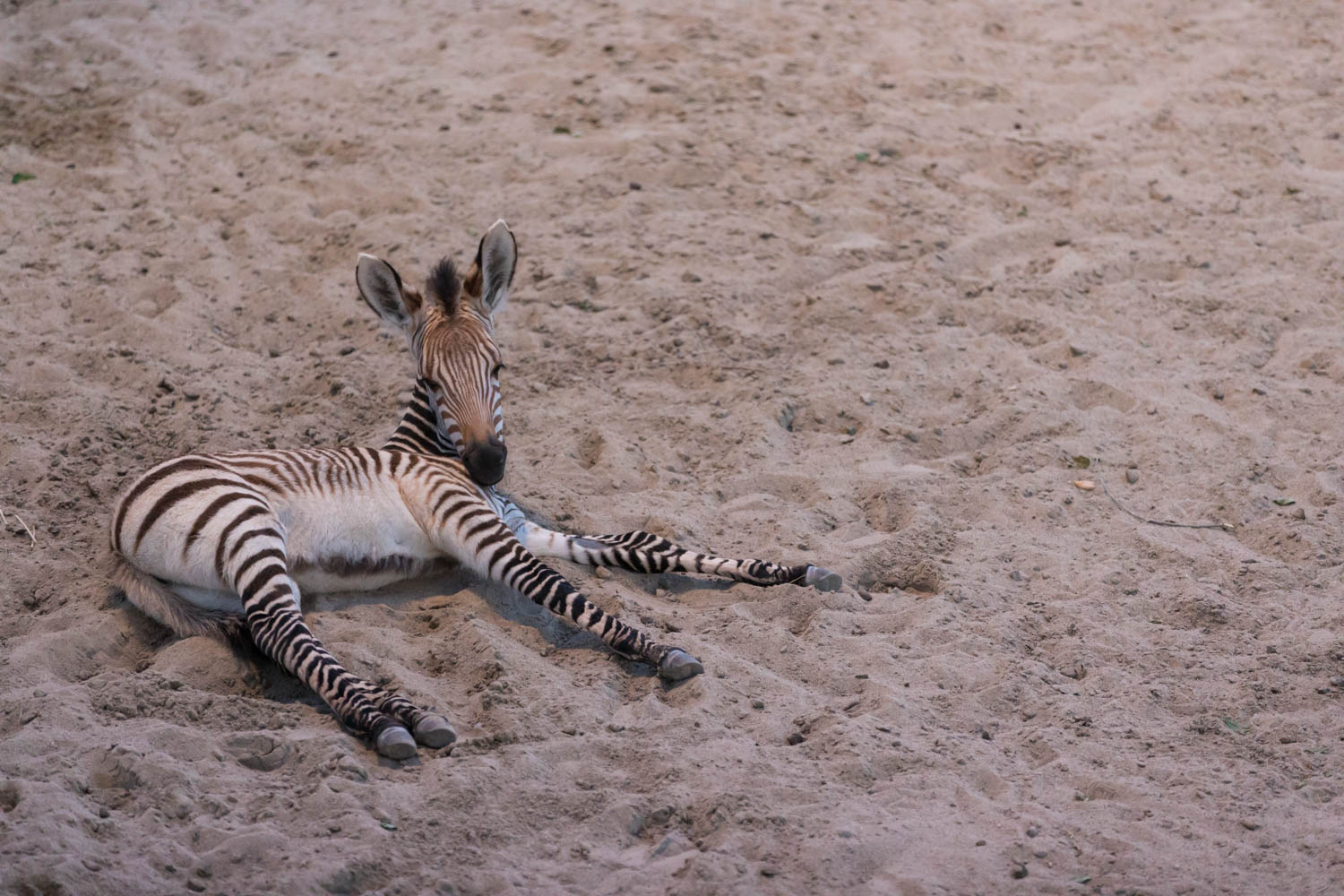 A baby zebra longs for SnapChat