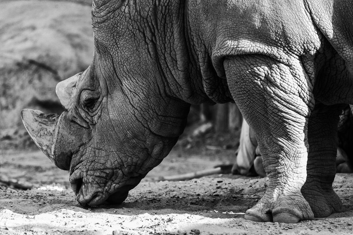 Rhino in black and white