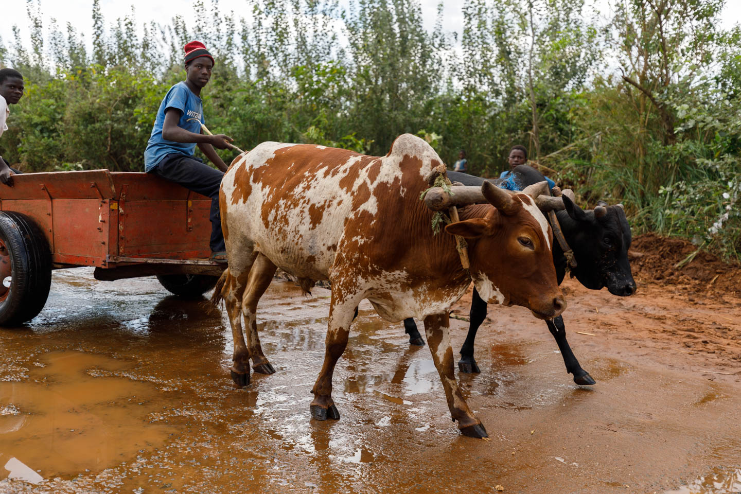 Transportation with cattle in Malawi